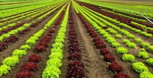Agriculture Salad Cultivation Harvest Landscape